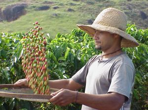 Muž, který sklízí kávovou úrodu