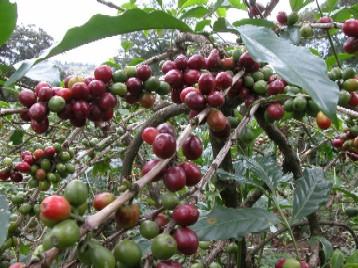 tanzanská káva