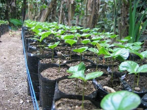 bolivijská káva