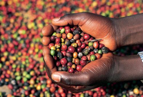 ugandská káva